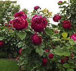 Роза Ascot (Аскот), фото 2