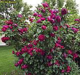 Роза Ascot (Аскот), фото 3