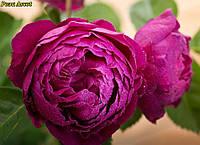 Роза Ascot (Аскот)