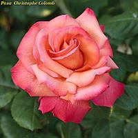 Роза  Christophe Colomb (Христофор Колумб)