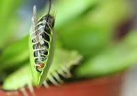 Венерина мухоловка  мухоед насекомоядное растение dionea muscipula