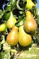 Саджанці груші колоновидної САПФІРА (дворічний)осіннього строку достигання, фото 1