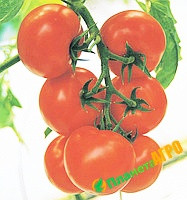 Семена томата индетерминантного Кристал F1 1 г, Clause