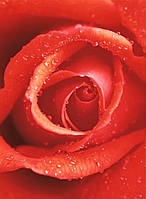 "Фотообои на стену: ""Роза"", 4 ч., 183х254 см"