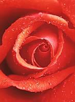"""Фотошпалери на стіну: """"Троянда"""", 4 ч., 183х254 см"""