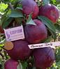 Саджанці яблуні ВІЛЬЯМС ПРАЙД (дворічний) річний термін дозрівання
