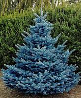 Ель колючая голубая 120-130 см