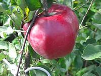 Саджанці яблуні ДЖУМБО ПОММ (дворічний) зимовий термін дозрівання
