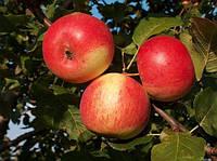 Саженцы яблони КВИНТИ (двухлетний) летнего срока созревания, фото 1