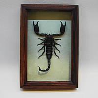 Сувенир - Скорпион в рамке Pandinus longimanus. Оригинальный и неповторимый подарок!