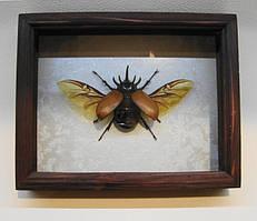 Сувенир - Жук в рамке Eupatorus gracilicornis. Оригинальный и неповторимый подарок!