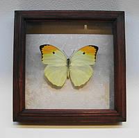 Сувенир - Бабочка в рамке Anteos menippe. Оригинальный и неповторимый подарок!