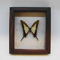 Сувенир - Бабочка в рамке Eurytides lacandones. Оригинальный и неповторимый подарок!
