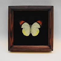 Сувенир - Бабочка в рамке Hebomoia glaucippe . Оригинальный и неповторимый подарок!