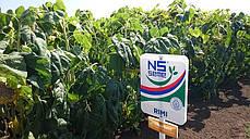 Семена подсолнечника Римми Юг Агролидер, фото 2