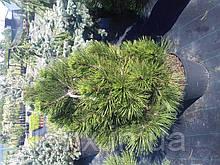 Сосна белокорая - Pinus leucodermis Irish Bell