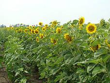 Семена подсолнуха НС-Х-6042 Юг Агролидер, фото 2