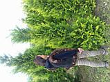Кипарисовик Лавсона Стардаст 160-180 см ком, фото 2