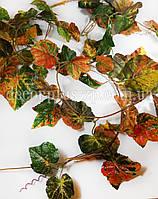 Лиана виноград, багровая