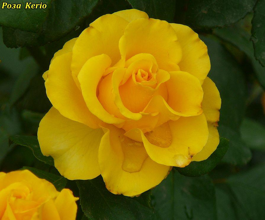 Роза Kerio (Керио)