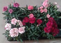 Гвоздика многолетняя садовая в ассортименте