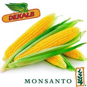Семена кукурузы DKC 3711 (Мonsanto)