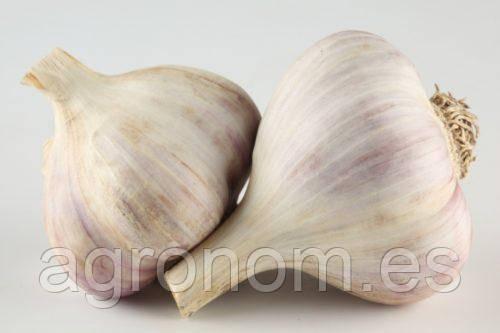 Озимый чеснок Любаша, 1 кг (зубок)