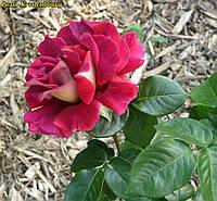 Роза Kronenbourg (Кроненбург)
