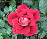 Роза Kronenbourg (Кроненбург) отгрузка сентябрь, фото 3