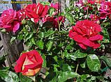Роза Kronenbourg (Кроненбург) отгрузка сентябрь, фото 5