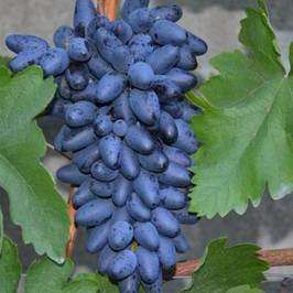 Саженцы кишмишного винограда