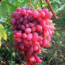 Саджанці винного винограду