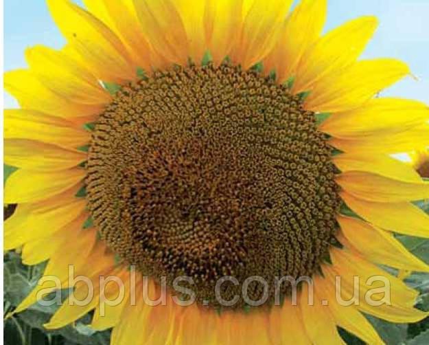 Насіння соняшника, гібрид ЛГ 5377