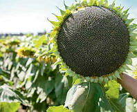 Насіння соняшника, гібрид ЛГ 5582
