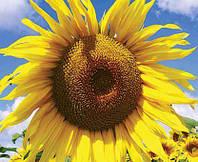 Насіння соняшника, гібрид ЛГ 5485 (Круїзер)