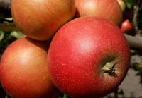 Саженцы яблони Топаз 2хлетние