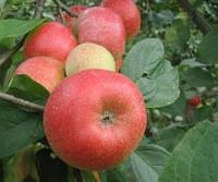 Саженцы яблони Арива 2хлетние