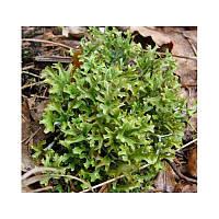 Исландский мох ( Бронхит, астма, коклюш, туберкулез)  50 грамм.