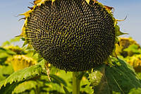 Семена подсолнечника Макао Маисадур (Франция)