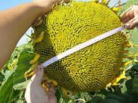 Семена подсолнечника Жалон от Евралис (Франция)