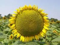 Семена подсолнечника Манад Маисадур (Франция)