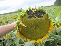 Семена подсолнечника Аламо от Евралис (Франция)