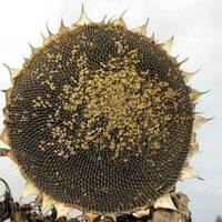 Семена подсолнечника Рекольд от Евралис (Франция)