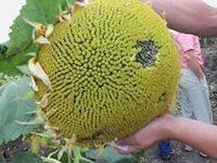 Семена подсолнечника Перформер от Фундуле (Румыния)