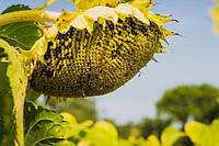 Семена подсолнечника МАС-90.Т Маисадур (Франция)