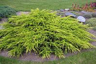 Можжевельник средний Пфитцериана Ауреа (Pfitzeriana Aurea), 1,3-1,4 метра