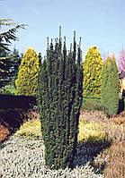 Тис ягодный Робуста (Robusta), 1,4-1,6 метра