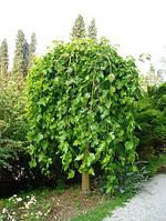 Шелковица плакучая Пендула (Pendula), обхват ствола 8-10 см