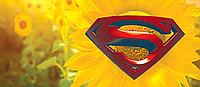 Семена подсолнечника НК Конді (Syngenta)