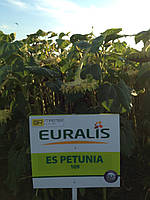 Семена подсолнечника ПЕТУНІЯ (EURALIS SEMENCES)